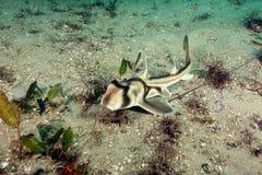 Baby-Port-Jackson-Stierkopfhai Stockfotos