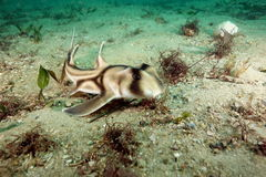 Baby-Port-Jackson-Stierkopfhai Stockfotografie