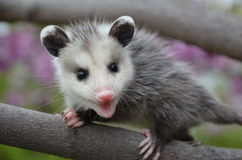 Baby Possum. In a Tree royalty free stock photos