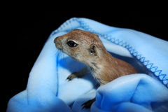 Baby prairie dog Stock Photography
