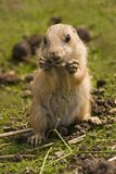 Baby prairie dog Royalty Free Stock Photos