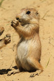 Baby prairie dog eating Royalty Free Stock Image