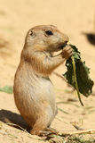 Baby Prairie Dog Eating A Leaf Royalty Free Stock Photo