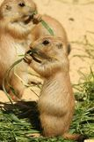 Baby prairie dog eating grass Royalty Free Stock Images