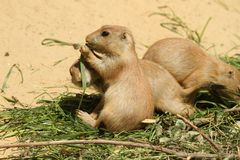Baby prairie dog eating grass Royalty Free Stock Photos