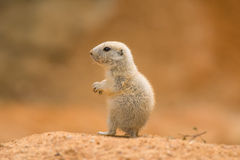 Baby prairie dog. (genus cynomys royalty free stock photography