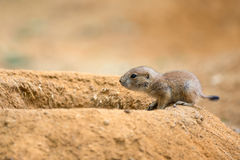 Baby prairie dog Royalty Free Stock Images
