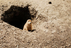 Baby prairie dog by his den Royalty Free Stock Image