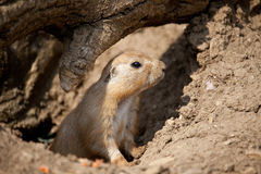 Baby prairie dog Stock Photos