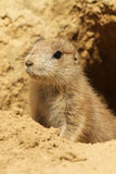 Baby prairie dog looking out of its burrow Stock Image