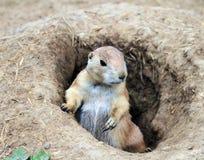 Baby Prairie Dog Royalty Free Stock Photos
