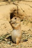 Baby prairie dog standing upright and eating Royalty Free Stock Photos