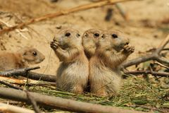 Baby prairie dogs eating Royalty Free Stock Image