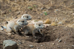 Baby Prairie Dogs Stock Photos