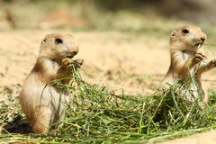 Baby prairie dogs standing and eating Royalty Free Stock Photo