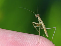 Baby Praying Mantis on a Finger Royalty Free Stock Images