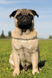 Baby pug. Portrait of a purebred puppy pug in a field stock photos