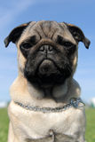 Baby pug. Portrait of a purebred puppy pug in a field, focus on the eyes stock photo