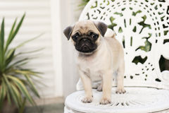 Baby pug. Cute pug puppy on white chair royalty free stock images