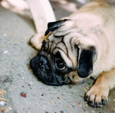 Baby pug. Dog pug. Close up face of a very Cute pug.  stock image