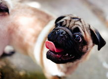 Baby pug. Dog pug. Close up face of a very Cute pug.  royalty free stock photography