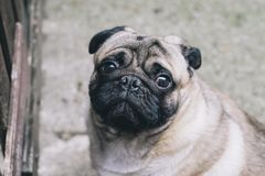 Baby pug. Dog pug. Close up face of a very Cute pug.  stock images