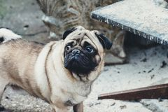 Baby pug. Dog pug. Close up face of a very Cute pug Stock Image