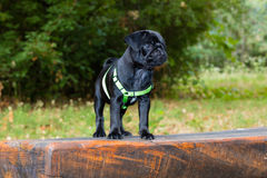 Baby Pug Marley enjoy the Summer Royalty Free Stock Photo