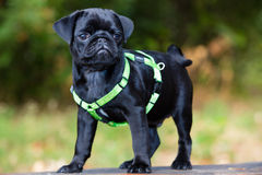 Baby Pug Marley enjoy the Summer Royalty Free Stock Image