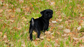 Baby Pug Marley enjoy the Summer Royalty Free Stock Photos