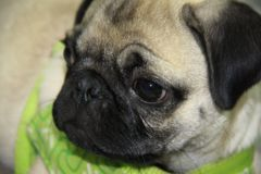 Baby Pug puppy. Close up of baby Pug puppy stock images