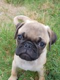 Baby pug puppy. Fawn baby puppy pug face stock image