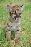 Baby-Puma Stockfoto