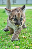 Baby-Puma Stockfotos