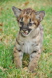 Baby Puma Stock Image