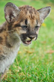 Baby Puma Stock Photo