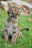 Baby Puma Royalty Free Stock Photo