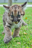 Baby Puma Stock Photography
