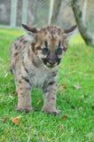 Baby Puma Royalty Free Stock Photos