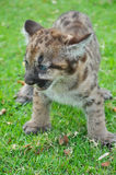 Baby Puma Royalty Free Stock Photos