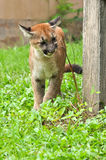 Baby Puma Royalty Free Stock Images