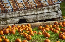 Baby Pumpkins laying around on grass royalty free stock photos