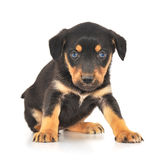 Baby Puppy Royalty Free Stock Images