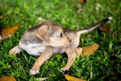 Baby Puppy Dogs Playing with angry royalty free stock images