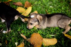 Baby Puppy Dogs Playing with angry royalty free stock photo