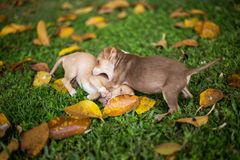 Baby Puppy Dogs Playing with angry stock photo