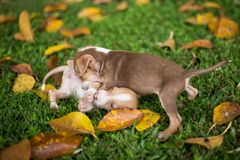 Baby Puppy Dogs Playing with angry stock photography