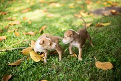 Baby Puppy Dogs Playing with angry royalty free stock image