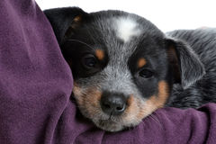 Baby Puppy Royalty Free Stock Photo