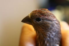 Baby purple finch Royalty Free Stock Photo